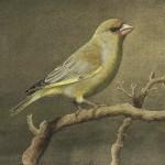 Greenfinch, aquarel, gouache