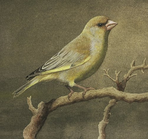 Greenfinch, aquarel, gouache