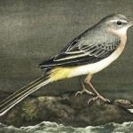 Grey Wagtail, aquarel, gouache