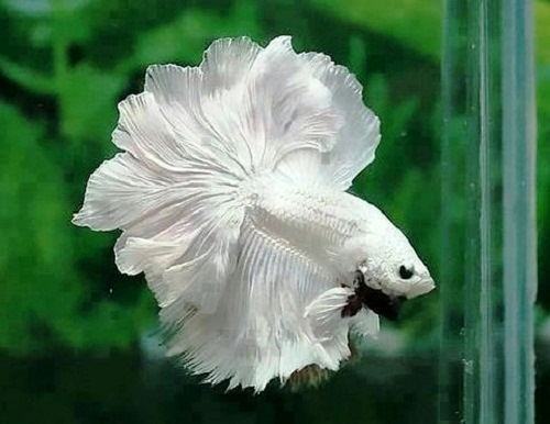 Moon-tail-fighter-fish