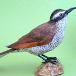 The female Bird-of-Paradise