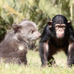 Friendship of bear cub and chimpanzee