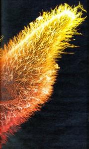ciliates paramecium sp