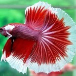 Multicolored Siamese fighting fish