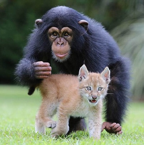 Best friends chimpanzee Varli and lynx Sutra