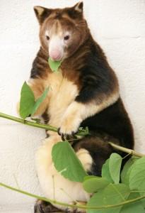 Matschie tree kangaroo pandaroo