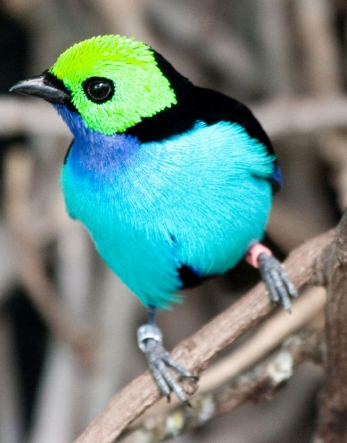 Seven-colored bird Paradise Tanager