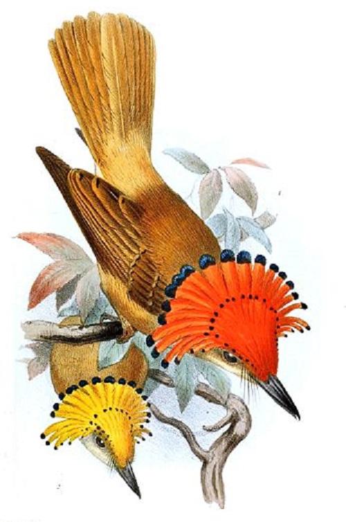 Beautiful Royal Flycatcher