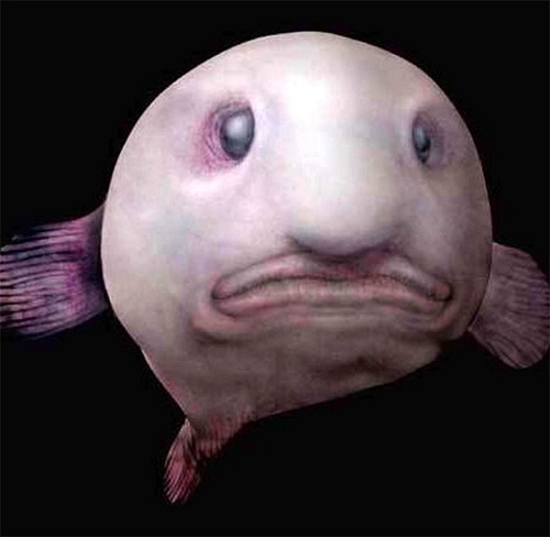 The blobfish - World's Ugliest Animal