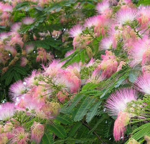 beautiful tree Albizia julibrissin
