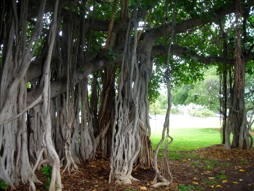 The Great Banyan - a tree with the world's largest area of the crown. Botanic Garden in Howrah, India