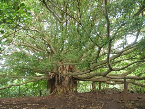The Great Banyan - a tree with the world's largest area of ​​the crown. Botanic Garden in Howrah, India