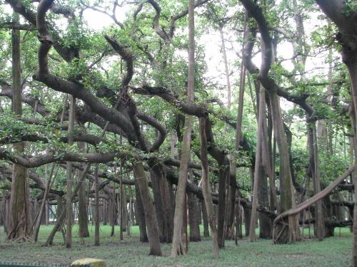 Symbol of India The Great Banyan