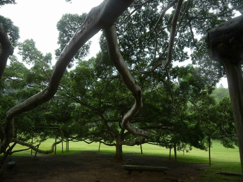 Symbol of India The Great Banyan