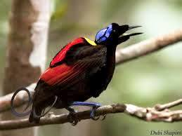 The beautiful Wilson's Bird-of-Paradise