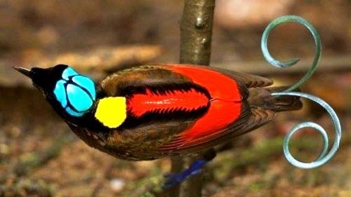 Beautiful Wilson's Bird-of-Paradise