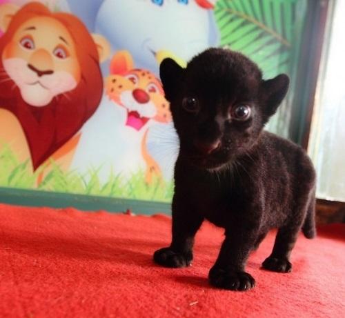 Rare Black Tiger cub