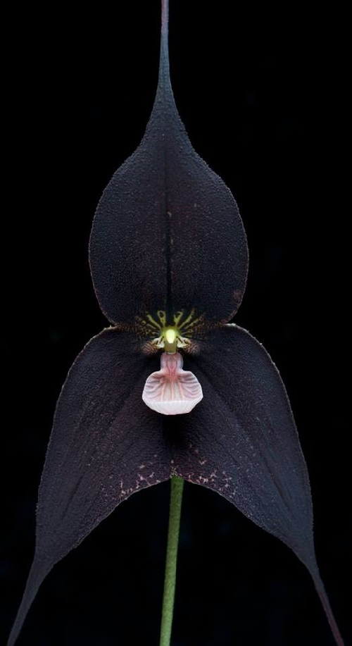 Black Orchid beautiful dream