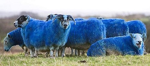 2015 Blue Wooden goat