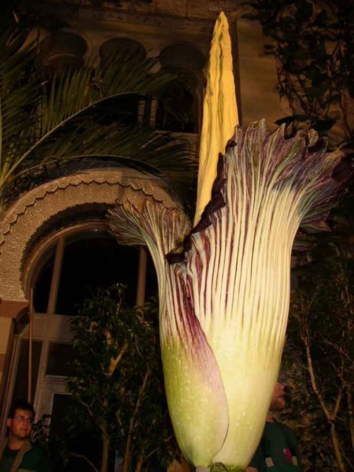 Amorphophallus titanum, also known as the corpse flower, or corpse plant