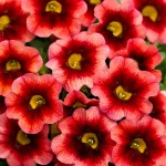 Beautiful Calibrachoa - decorative garden plant