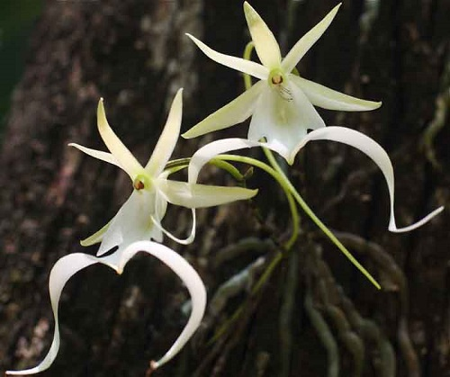 Dendrophylax Lindenii. Other names – palm polly and white frog orchid