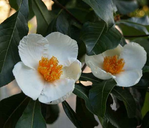 Franklinia Alatamaha, commonly called the Franklin tree