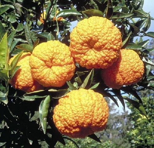 Cambodian mandarin