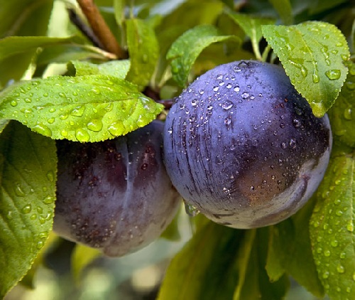 Plumcot (75% plum and 25% apricot), or apriplum (75% apricot and 25% plum) are first-generation hybrids between a plum parent and an apricot. Pluot and aprium are later-generations