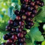 Jostaberry – a complex-cross fruit bush involving three original species, the black currant, the black gooseberry, and the European gooseberry. Fruit and vegetable hybrids
