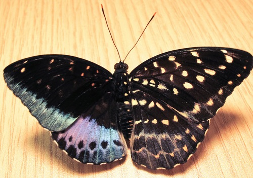 half-female butterfly