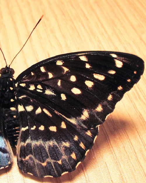 Lexias pardalis. Rare half male and half female butterfly (right)