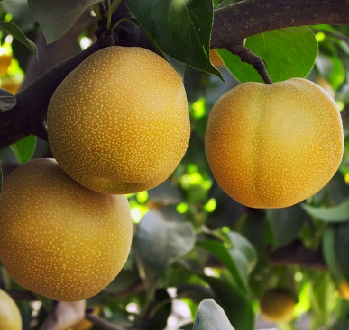 Nashi – Japanese Apple Pear, or Asian pear
