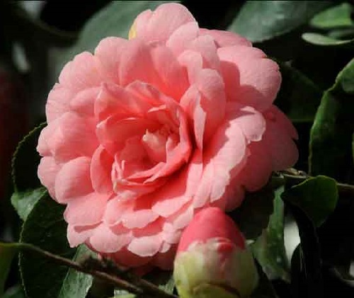 One of the rarest flowering plant in the world, the Middlemist Red Camellia