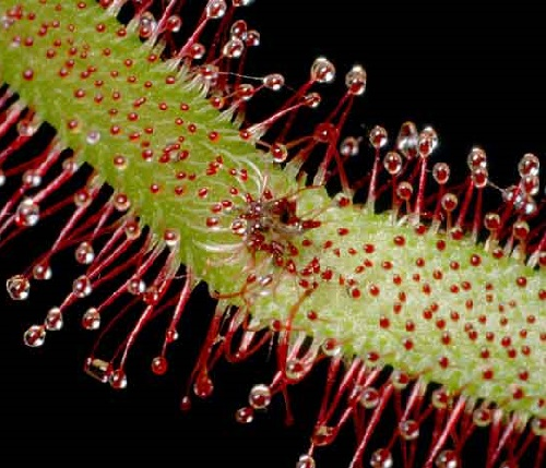 One of the rarest flowers in the world Drosera capensis, or Cape Sun-dew