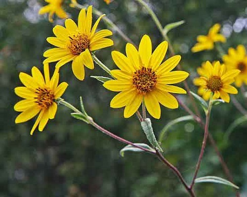 One of the rarest flowers in the world Helianthus Schweinitzii, also known Schweinitz's sunflower