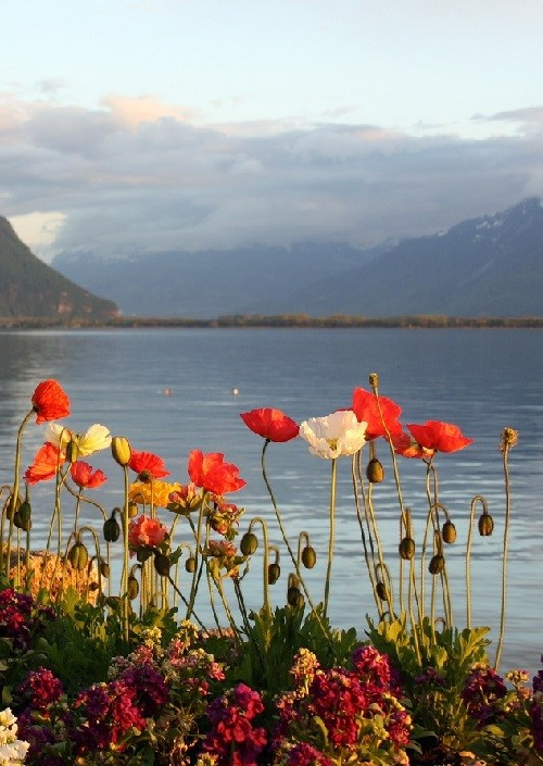 Poppies. Flower landscape of Lake Geneva (Lake Leman) in Switzerland