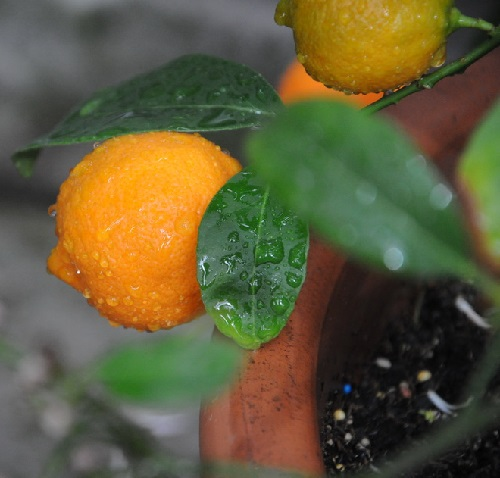 Rangpur, or lemandarin, a hybrid between the mandarin orange and the lemon