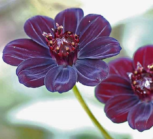 Rarest Flowers Cosmos Atrosanguineus A Flower That Smells Like Chocolate
