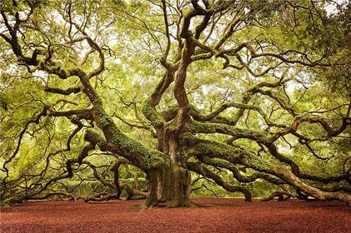 Angelic Oak, South Carolina