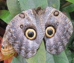 Protective Eyes on butterfly wings