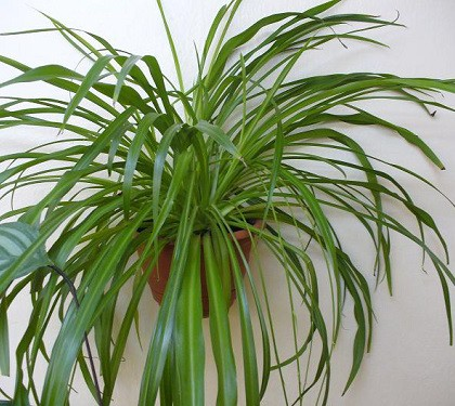 Chlorophytum. People say that this plant brings to family life peace and happiness