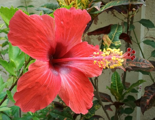 Hibiscus Rosa-sinensis, or Chinese rose. The appearance of the flower in the house predicts soon passionate love. It has been national flower of Malaysia since 28 July 1960. The red of the petals symbolizes the courage, life, and love