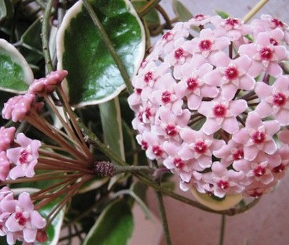 In some countries, Hoya (wax ivy) represents «Valentine» on February 14. It gives the most positive effect on marital happiness if grows in the bedroom. Most flowers are shaped as five pointed stars, and some – round or ball-like. Named in honor of botanist Thomas Hoy