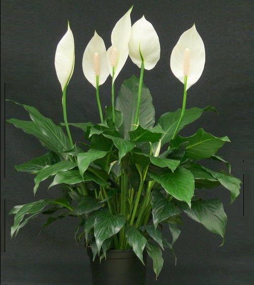 Plants that bring love. Spathiphyllum, or Peace lily, or Women's happiness