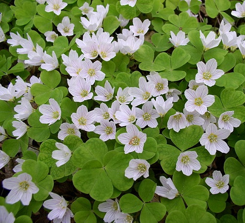 Oxalis. If you need to find love and keep the family together, certainly plant Oxalis at home