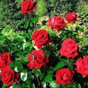 Red rose named in her honor - Ingrid Bergman