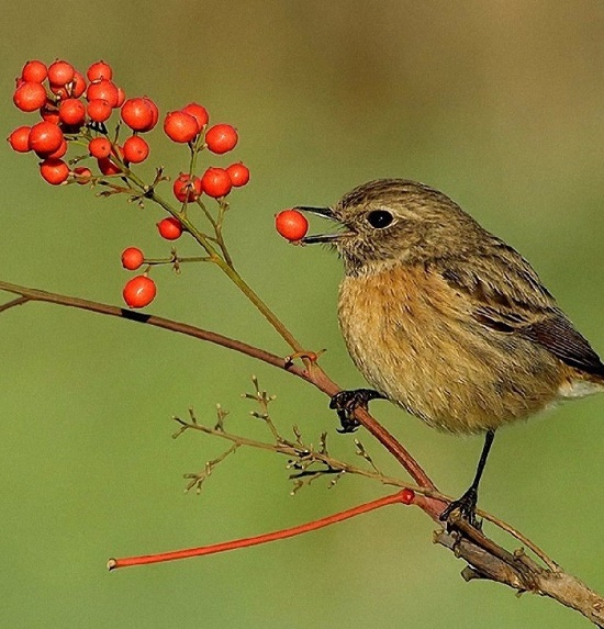 A bird with a berry of red rowan