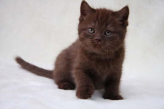 Adorable brown kitten
