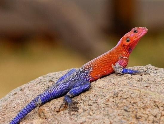 Agama mwanzae Flathead lizard